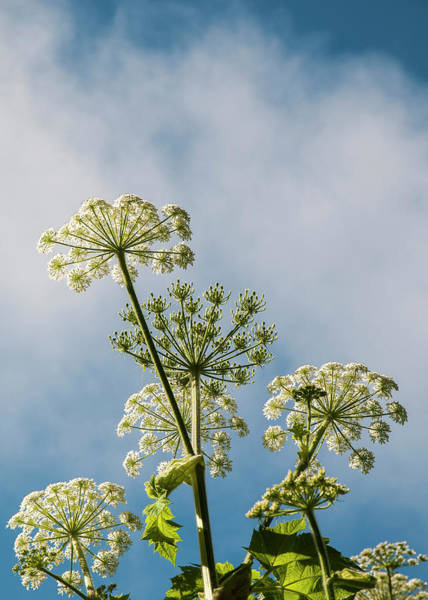 Photograph - Cow Parsnip by Robert Potts
