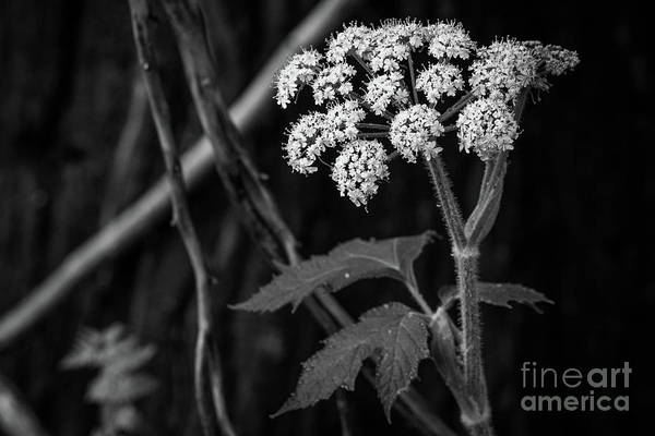 Photograph - Cow Parsnip  by Vincent Bonafede