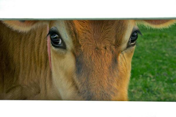 Photograph - Cow Peeking Through The Fence by Polly Castor