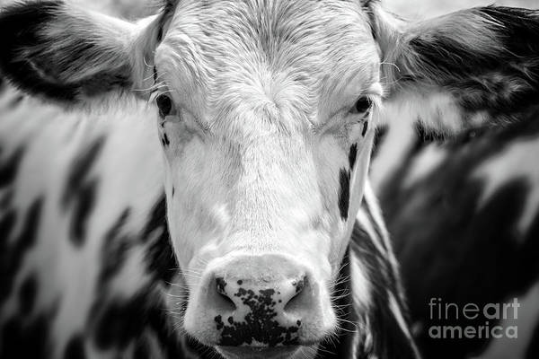 Wall Art - Photograph - Cow Portrait by Delphimages Photo Creations