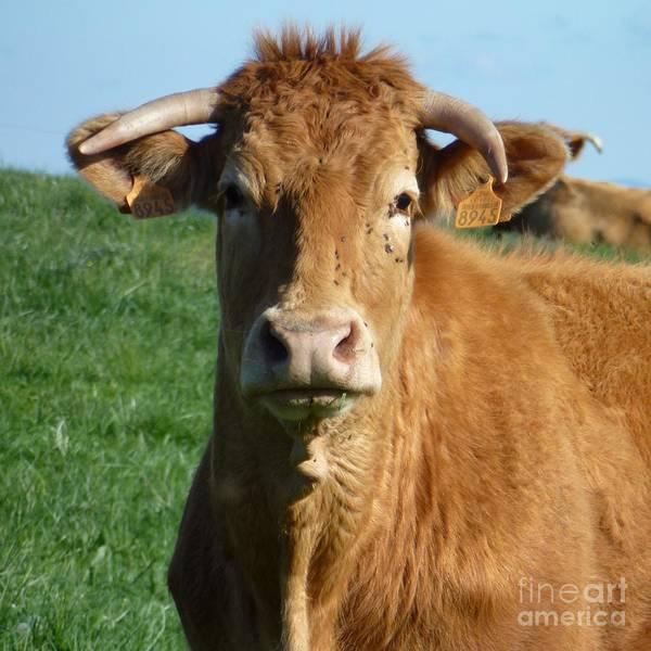 Photograph - Cow Portrait by Jean Bernard Roussilhe