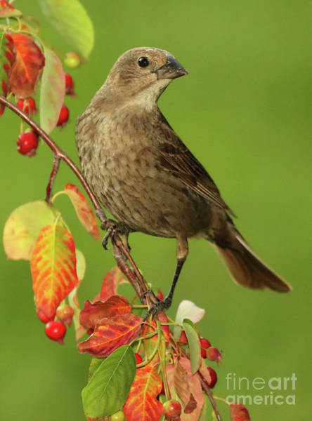 Molothrus Ater Photograph - Cowbird Among Berries by Max Allen