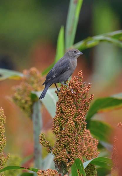 Photograph - Cowbird Feasting On Milo And Shiloh Military Park In Tennessee by WildBird Photographs