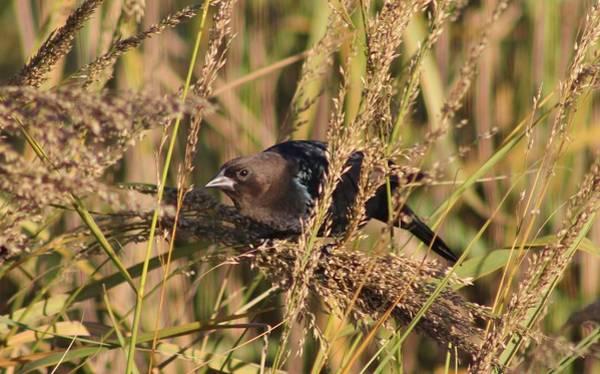 Cowbird Photograph - Cowbird by Karen Silvestri