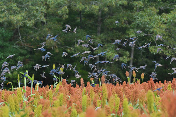 Photograph - Cowbirds In Flight Over Milo Fields In Shiloh National Military Park by WildBird Photographs
