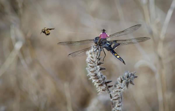 Digital Art - Cowboy Bee Roping by Rick Mosher