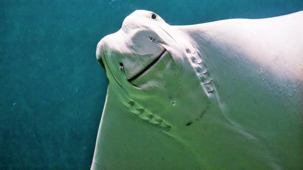 Photograph - Cownose Ray by Steven Ralser