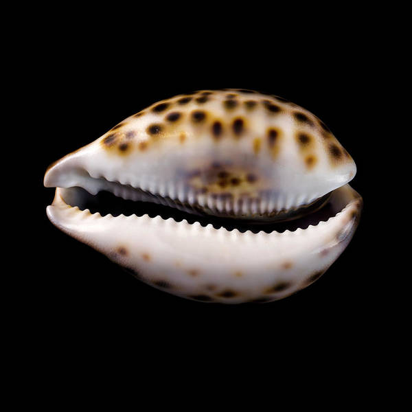 Photograph - Cowry Sea Shell by Jim Hughes