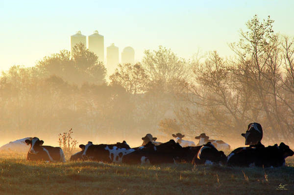 Photograph - Cows After A Big Breakfast by Sam Davis Johnson