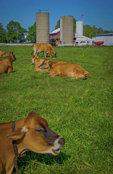 Milk Farm Restaurant Photograph - Cows At Young's Jersey Dairy, Yellow Springs, Ohio by Ina Kratzsch