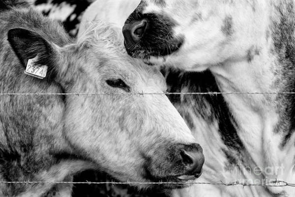 Photograph - Cows Behind Barbed Wire by Nick Biemans