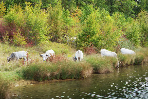Photograph - Cows Drinking In Rural France by Jean Gill