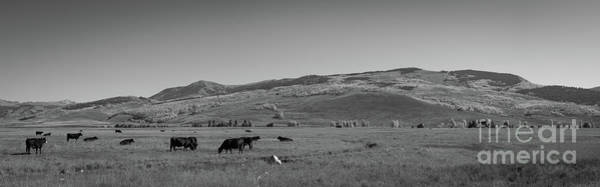 Photograph - Cows Grazing In Colorado Bw Pano by Michael Ver Sprill