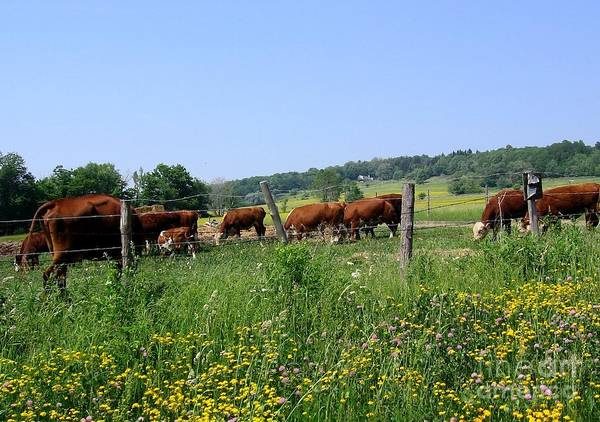 Photograph - Cows Grazing In Field In Western New York by Rose Santuci-Sofranko
