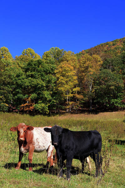 Photograph - Cows In A Field by Jill Lang