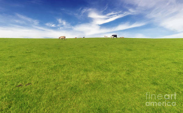 Photograph - Cows In A Pasture by Adrian Evans