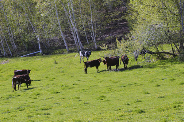 Photograph - Cows In A Pasture by Michelle Hoffmann