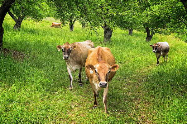 Photograph - Cows In Apple Orchard by Tom Singleton