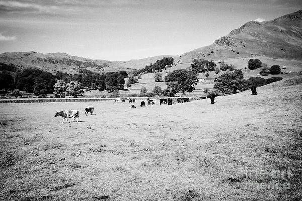 Grasmere Wall Art - Photograph - Cows In Fields And Hills Near Grasmere With Helm Crag On The Right In The Lake District Cumbria Engl by Joe Fox