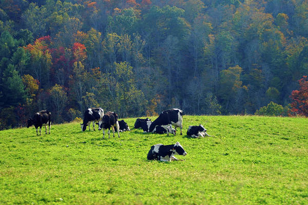 Photograph - Cows In The Countryside by Mike Murdock