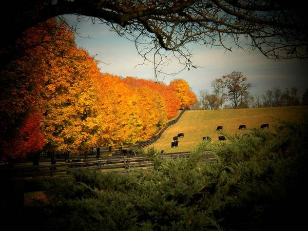 Wall Art - Photograph - Cows In The Meadow by Joyce Kimble Smith