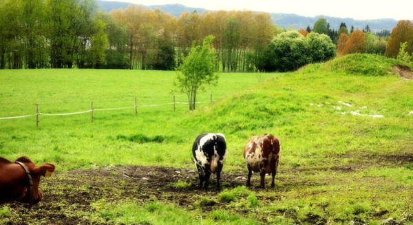 Aspect Wall Art - Photograph - Nothing Is More Joyful Than Cows On Holiday  by Hilde Widerberg