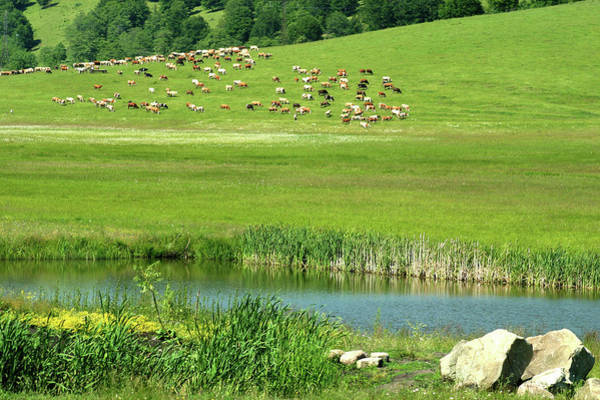 Photograph - Cows On Pasture Near Lake by Emanuel Tanjala