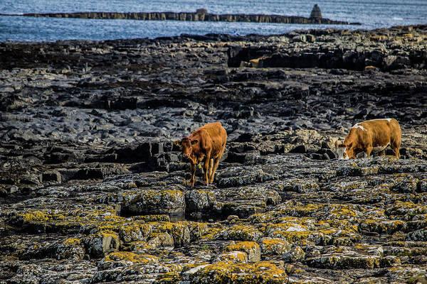 Cows On The Rocks Art Print