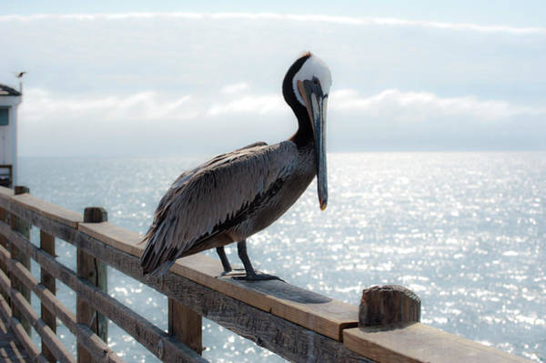 Photograph - Coy Pelican by Windy Osborn