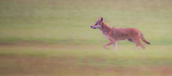 Photograph - Coyote 0313 by Dan Beauvais