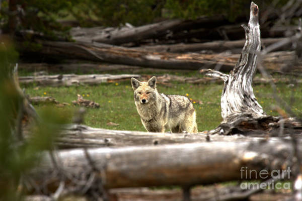 Photograph - Coyote Among The Logs by Adam Jewell