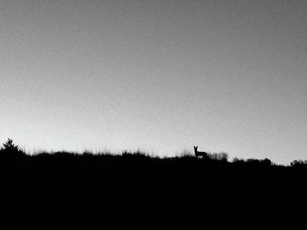 Photograph - Coyote At Sunrise by Mary Lee Dereske