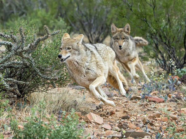 Photograph - Coyote Chase 4189-022617-1cr by Tam Ryan