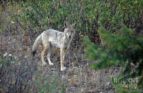 Photograph - Coyote by Cindy Murphy - NightVisions