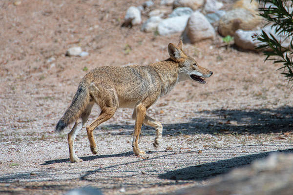 Photograph - Coyote by Dan McManus