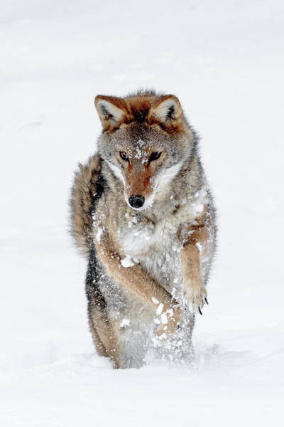 Photograph - Coyote Dance by Wes and Dotty Weber