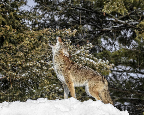Photograph - Coyote Howl by Wes and Dotty Weber