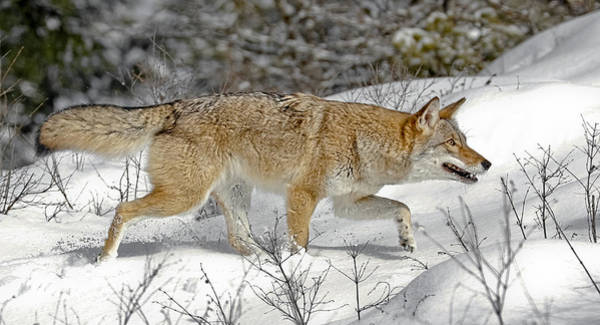 Photograph - Coyote Hunting by Wes and Dotty Weber
