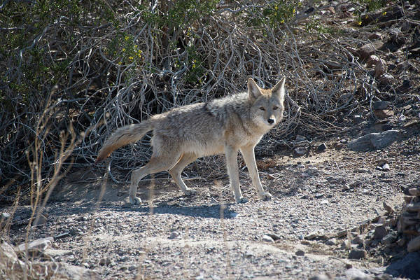 Photograph - Coyote In Death Valley by Michael Bessler