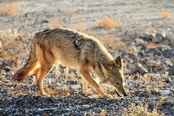 Photograph - Coyote In Death Valley  by Pierre Leclerc Photography