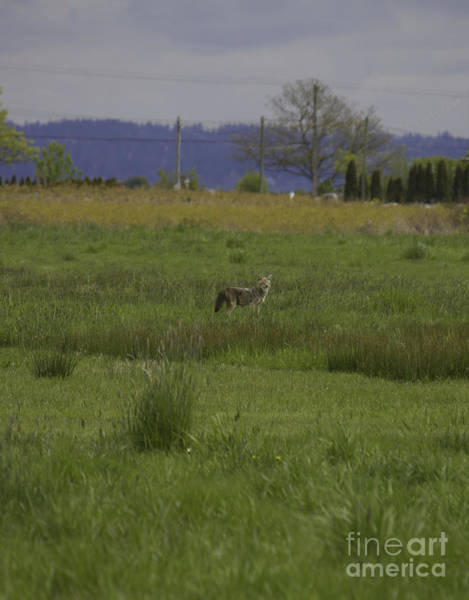 Photograph - Coyote In Field by Donna L Munro