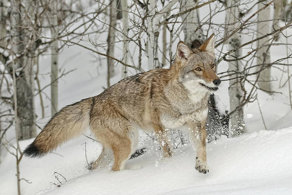 Photograph - Coyote In Snow by Wes and Dotty Weber
