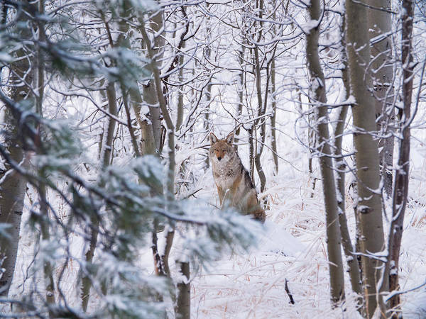 Photograph - Coyote In The Aspens by Brad Scott