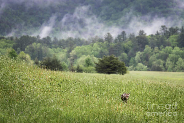 Photograph - Coyote In The Smokies by Andrea Silies