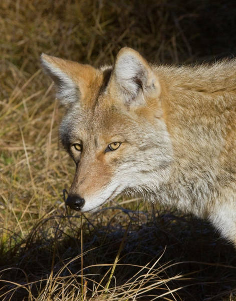 Photograph - Coyote In The Wild by Mark Miller