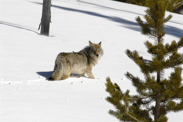 Photograph - Coyote In Winter by Scott Read