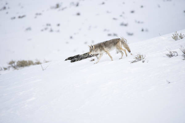 Photograph - Coyote In Yellowstone by Brad Scott