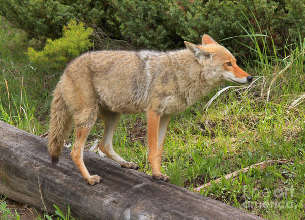 Photograph - Coyote On A Log Closeup by Adam Jewell