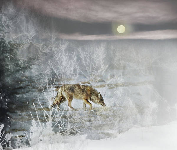 Wall Art - Photograph - Coyote On A Winter Night by Susan Capuano