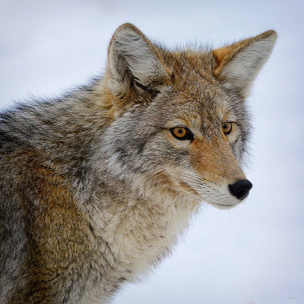 Photograph - Coyote Portrait by Greg Norrell
